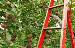Rode ladder in appelboomgaard royalty-vrije stock foto's