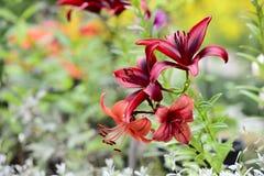 Rode lelie in een zonnige tuin Stock Fotografie