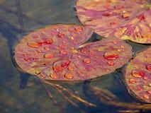 Rode leliebladeren Stock Afbeeldingen