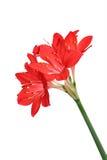 Rode lelies Royalty-vrije Stock Foto's
