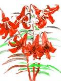 Rode lelies, hand het getrokken schilderen Stock Foto's