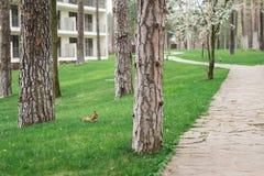 Rode leuke eekhoorn die een okkernoot houden Stock Afbeelding