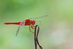 Rode libel, libellen, insecten Royalty-vrije Stock Afbeeldingen