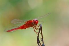 Rode libel, libellen, insecten Stock Foto's