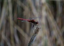 Rode Libel op een tak Royalty-vrije Stock Fotografie