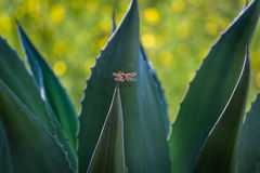 Rode libel (Vlamschuimspaan) op cactus, Zuidelijk Californië stock fotografie