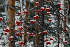 Rode lijsterbes in het de winterbos stock afbeeldingen