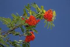 Rode lijsterbes in het eind van de zomer Stock Foto's