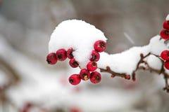 Rode lijsterbes op een tak onder een sneeuw GLB Voer voor vogels in de winter bevroren bessen in vorst stock afbeeldingen