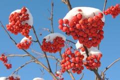 Rode lijsterbesbessen in sneeuw tegen de hemel royalty-vrije stock foto's
