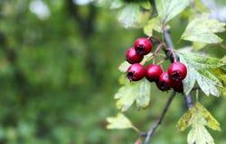 Rode lijsterbessen op de boom in de herfst Royalty-vrije Stock Afbeelding