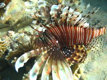 Rode Lionfish Stock Afbeelding