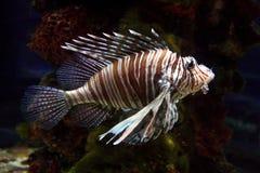 Rode lionfish in het aquarium Stock Afbeeldingen
