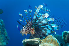 Rode Lionfish - Papoea-Nieuw-Guinea Stock Foto's