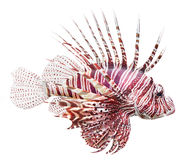 Rode Lionfish (Pterois volitans). Stock Afbeelding