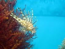Rode lionfish - Pterois volitans Stock Afbeeldingen