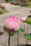 Rode lotos Royalty-vrije Stock Afbeeldingen