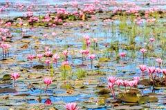 Rode lotusbloem bij lagunes Stock Foto