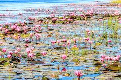 Rode lotusbloem bij lagunes Royalty-vrije Stock Foto's