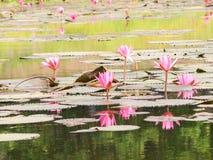 Rode lotusbloem in de vijver in Wapi Pathum Maha Sarakham, Thailand stock afbeelding