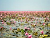 Rode lotusbloemvijver stock foto