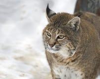 Rode lynx of Bobcat Stock Afbeeldingen