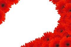 Rode madeliefjebloemen Stock Afbeelding