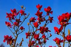 Rode magnolia stock foto