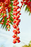 Rode Maharadjapalm Royalty-vrije Stock Afbeeldingen
