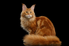 Rode Maine Coon Cat Sitting met Bontstaart isoleerde Zwarte Royalty-vrije Stock Foto's