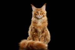 Rode Maine Coon Cat Sitting met Bontstaart isoleerde Zwarte royalty-vrije stock afbeeldingen