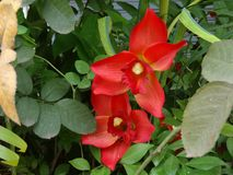 Rode Mandevilla, Dipadenia Royalty-vrije Stock Afbeeldingen