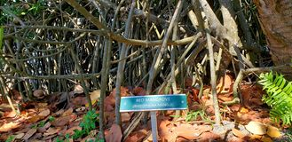 Rode mangrove stock fotografie