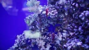 Rode mariene debelius van garnalenlysmata stock video