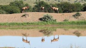 Rode meest hartebeest antilopen bij een waterhole stock video
