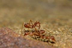 Rode mier Stock Foto