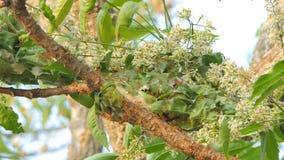 Rode mier die het nest bouwen op boom stock footage