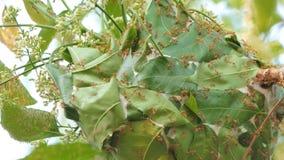 Rode mier die het nest bouwen op boom stock videobeelden