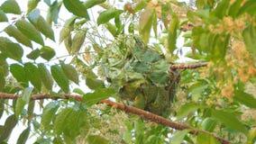 Rode mier die het nest bouwen op boom stock video