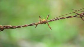 Rode mier die op roestige met weerhaken lopen getelegrafeerd op greenbackground stock footage