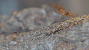 Rode mier op boom in tropisch regenwoud stock footage