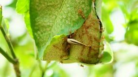 Rode mier op citroenboom stock video