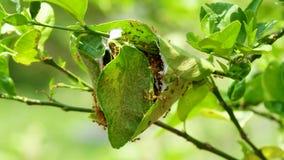 Rode mier op citroenboom stock videobeelden
