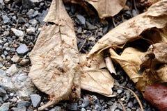 Rode mier op droog blad stock afbeelding
