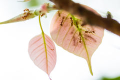 Rode mier op roze pho of bodhi Royalty-vrije Stock Fotografie