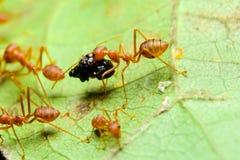 Rode mieren Stock Afbeelding