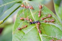 Rode mieren die een insect op blad aanvallen Stock Afbeeldingen