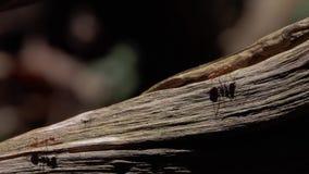 Rode Mieren die op Droge Boomboomstam kruipen in Bos stock videobeelden