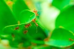 Rode mieren op de bladeren royalty-vrije stock foto