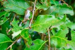 Rode mieren op mangoboom royalty-vrije stock foto
